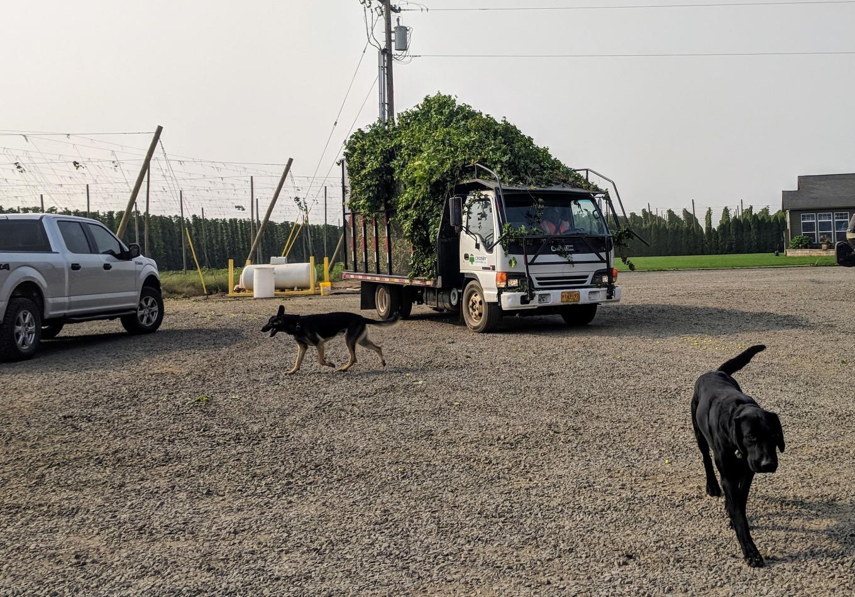 Crosby Hop Farm Centennial Hop Harvest Dogs