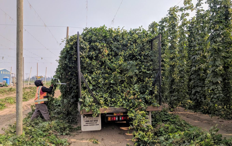 Crosby Hop Farm Centennial Hop Harvest Full Truck