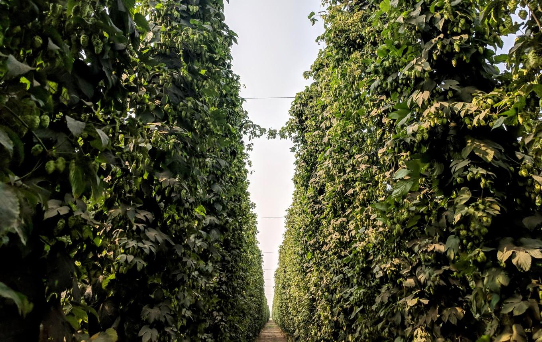 Crosby Hop Farm Centennial Hop Harvest Uncut Row 2
