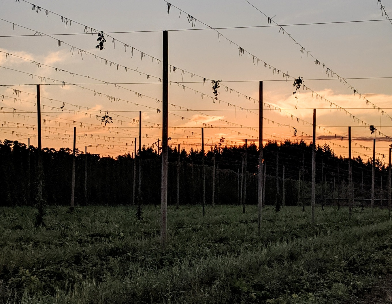Crosby Hop Farm Harvest Sunset Fresh Hops