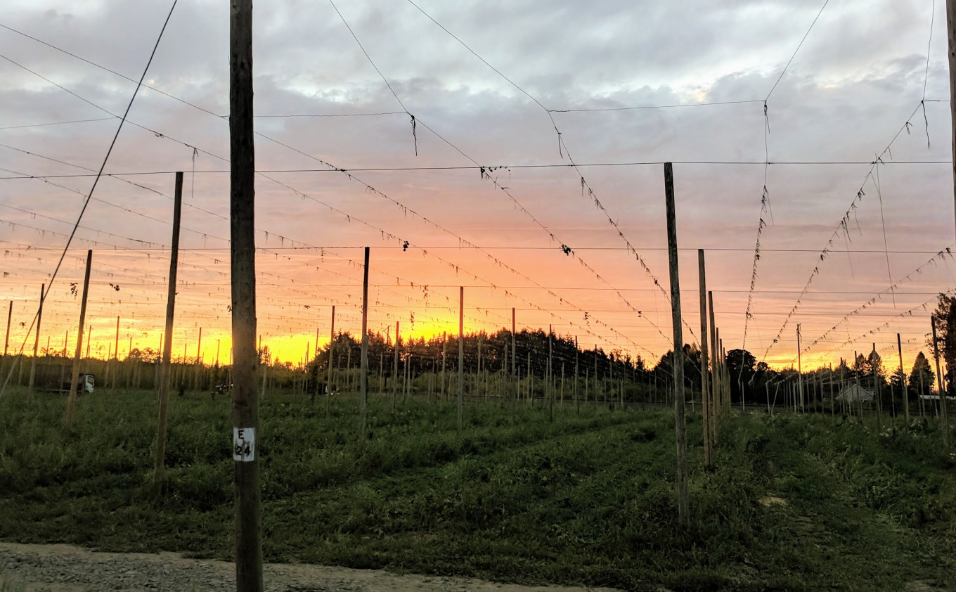 Crosby Hop Farm Sunset Hop Harvest 2018